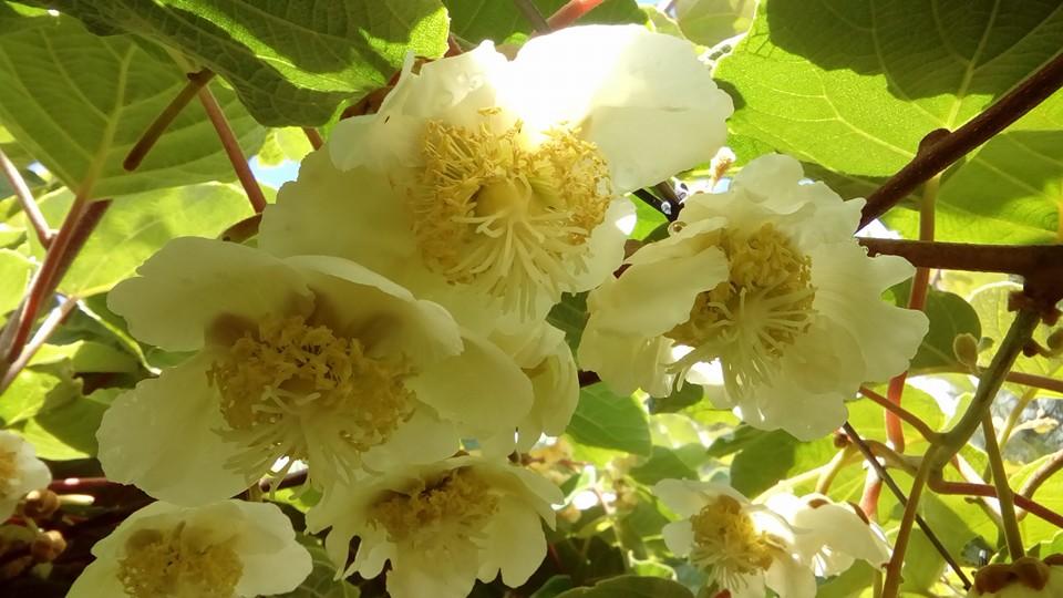 kiwifruit-flower